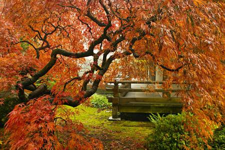 Rode Lace Leaf Maple boom in de herfst op Portland Japanse tuin