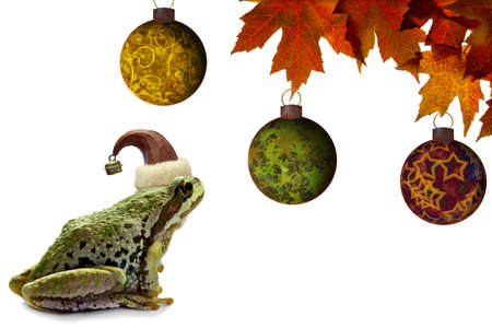 christmas frog: Christmas Tree Frog Sitting on White Background with Red Maple Leaves Stock Photo