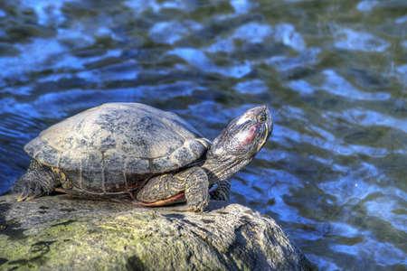 Tortoise sunbathing on rock