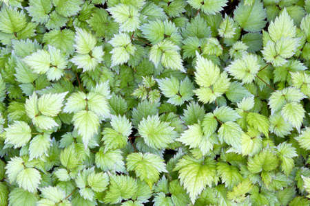 Astilbe Herbaceous Perennial Plant Leaves Background Stock Photo - 9635350