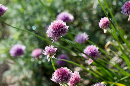 Garlic Chives Flowers Closeup Stock Photo - 9815236