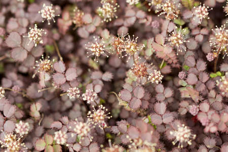 New Zealand Burr Groundcover Plant Stock Photo - 9815234