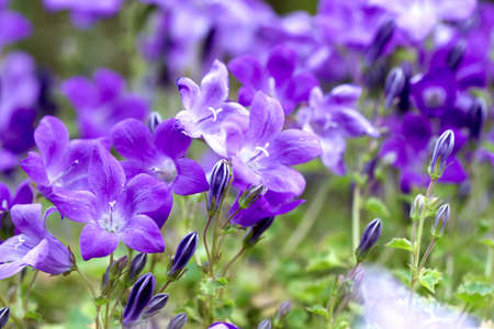 Campanula Portenschlagiana Blue Bell Flowers Macro Stock Photo - 9815241