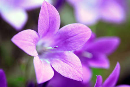 Campanula Portenschlagiana Blue Bell Flowers Macro Closeup Stock Photo