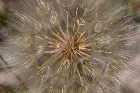 Dandelion Weed Wild Flower Seed Macro Background Stock Photo - 10266840