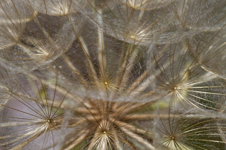 Dandelion Weed Wild Flower Seed Head Macro Background Stock Photo - 10266839