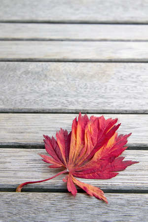 japanese maples: Red Japanese Maples Leaf on Wooden Bench in Fall Season Background Closeup