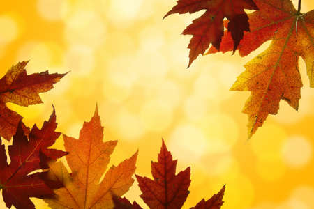 Autumn Maple Leaves Changing Fall Colors Backlit with Blurred Sunlight Background  photo