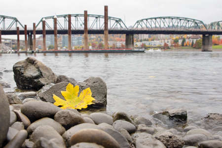 hawthorne: Fall Season Yellow Maple Leaf on the Rocks by the Banks of Willamette River in Portland Oregon with Hawthorne Bridge and Marina Stock Photo
