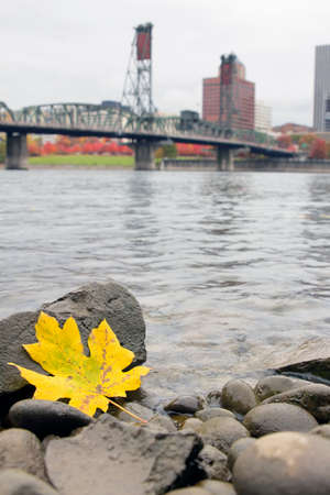 hawthorne: Fall Season Yellow Maple Leaf on the Rocks by the Banks of Willamette River in Portland Oregon with Hawthorne Bridge