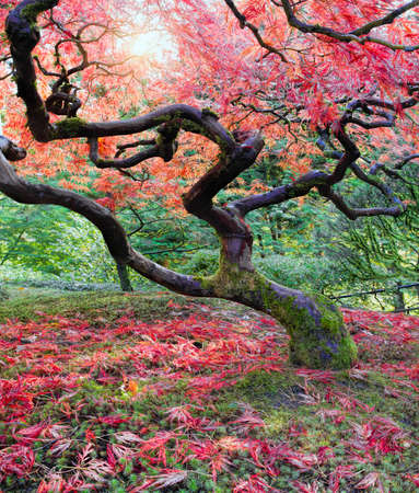 japanese maples: Old Japanese Red Maple Tree in Fall Season with Sunlight