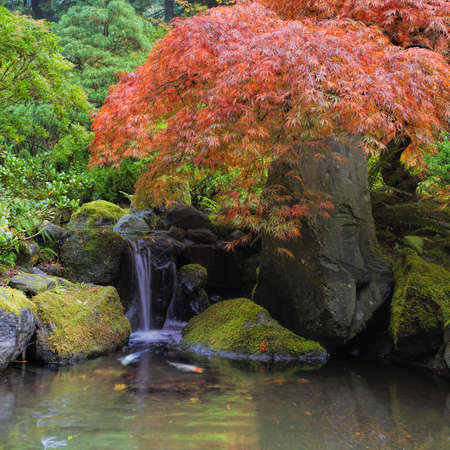 Red Japanese Laceleaf Maple Tree Over Waterfall Pond with Koi Fish photo