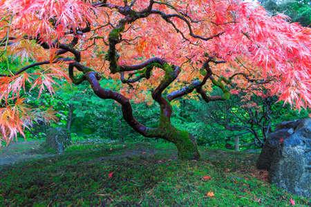 Old Red Lace hoja del árbol de arce en el jardín japonés de Portland Oregon en otoño Foto de archivo - 35640379
