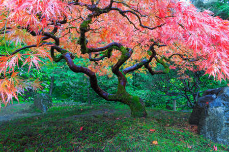 Old Red Lace Leaf Maple Tree bij Japanse Tuin in Portland Oregon in de herfst Stockfoto