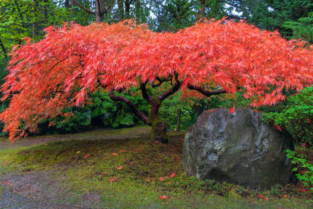 japanese maple tree: Japanese Red Lace Leaf Maple Tree by Rock in Autumn Stock Photo