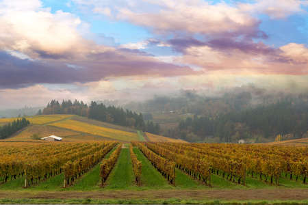 dundee: Vineyard in Dundee Oregon on a foggy morning during Fall Season