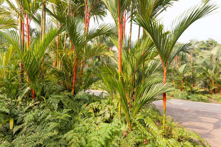 rajah: Red Lipstick Rajah Palm Trees growing over bed of Ferns at Botanical Garden Stock Photo