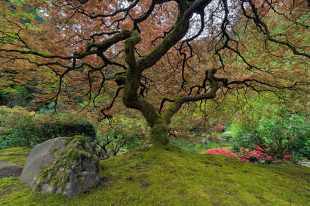 spring landscape: Under the Japanese Maple Tree at Japanese Gaarden in Portland Oregon in Spring Season Stock Photo