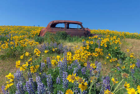 abandoned car: Abandoned rusty old car among Lupine and Balsamroot wildflowers at Columbia Hills State Park in Washington State during spring