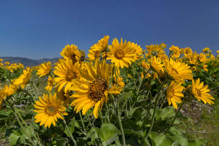 pacific crest trail: Balsamroot Flowers Blooming in Springtime at Columbia River Gorge