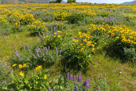 pacific crest trail: Field of Balsamroot and Lupine wildflowers in bloom at Rowena Crest at Columbia River Gorge Oregon in Spring