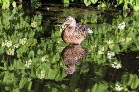 female mallard duck: Female Mallard Duck wading in the lake at Crystal Springs Rhododendron Garden Stock Photo