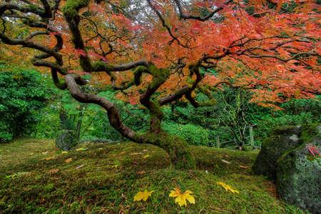 Japanese Maple Tree at Portland Japanese Garden in Fall Season Stock Photo