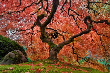 Il vecchio albero di acero giapponese al giardino giapponese di Portland nella sua piena gloria d'autunno Archivio Fotografico - 67960749