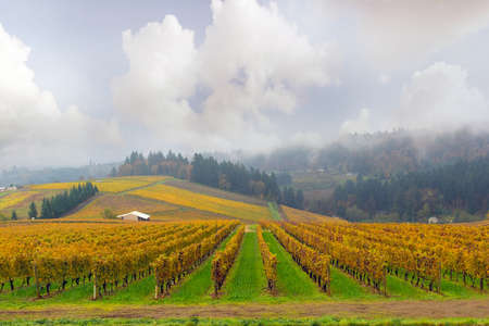 Dundee Oregon Winery Vineyard in fall season during one foggy morning