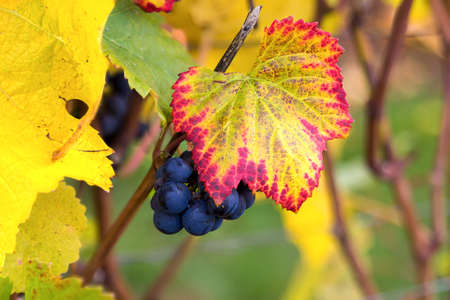 Red wine grapes on grapevines in vineyard closeup