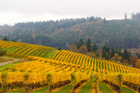 Fall colors on rolling hills of grapevines at vineyards in Dundee Oregon in autumn