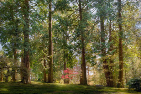 Red Maple Tree growing amongst giant evergreen trees at Portland Japanese Garden