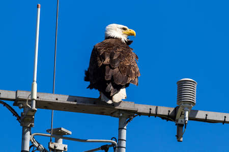 northwest: American Bald Eagle perched on communication tower at West Point Lighthouse in Washington State