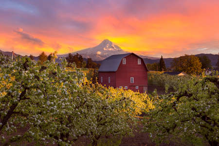Zonsondergang over Mount Hood en Rode Schuur in Pear Orchard in Hood River Oregon tijdens het lente seizoen