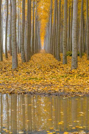 Reflexion von Pappelbäumen an Boardman Oregon-Baumfarm während der Herbstsaison Standard-Bild - 88614557