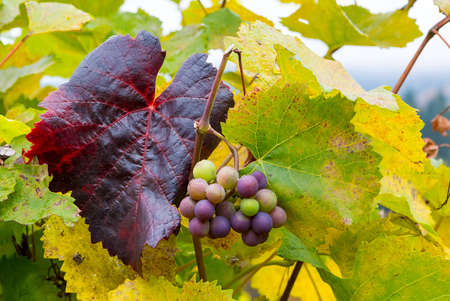 Wine grapes on grapevines at winery in Dundee Oregon in fall season