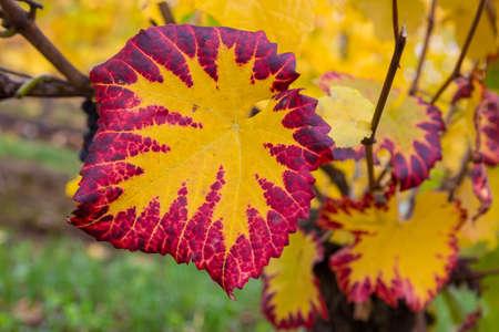 Grape leaves fall color foliage at winery vineyard closeup macro Stock Photo