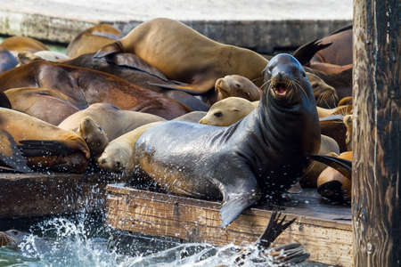 Sea Lions basking in the sun o the pier in San Francisco with one male bull looking up