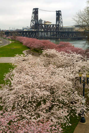 Cherry Blossoms Trees flowers in full bloom along Portland Oregon downtown waterfront during Spring Season