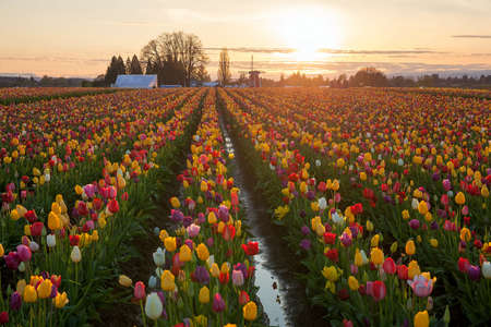 Sunset over colorful Tulip flower fields during spring season tulip festival in Woodburn Oregon