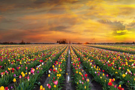 Sunset over colorful Tulip flower fields in full bloom during spring season tulip festival in Woodburn Oregon