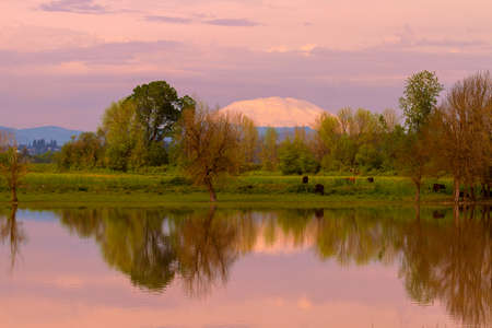 Mount Saint Helens reflection with cattle cows grazing by the water in Sauvie Island during sunset Stock Photo