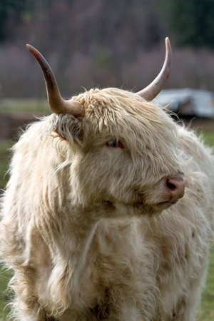 Kyloe Highland Bull Cow Cattle Scottish Breed Portrait Closeup Stock Photo