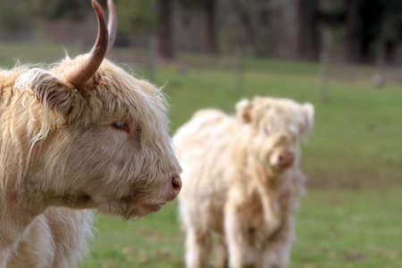 Kyloe highland bull cow cattle Scottish breed with calf portrait closeup