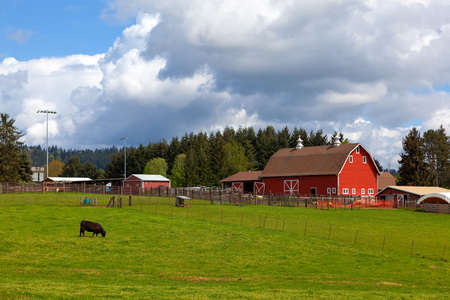 Cow grazing on green pasture by red barn in rural farmland in Clackamas Oregon Stok Fotoğraf