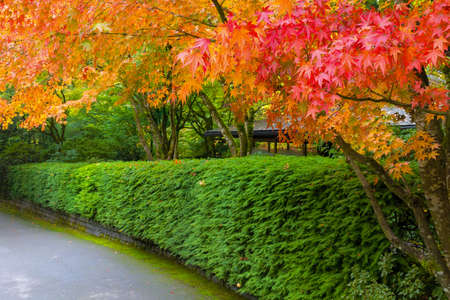 Strolling path in Japanese Garden lined with maple trees in fall season colors