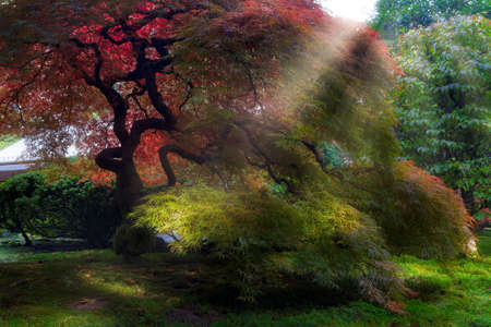 Morning sun ray beams on Old Japanese Maple trees in Japanese Garden in Fall Season