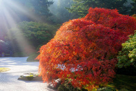 Sun rays over old Japanese lace leaf maple tree by flat sand garden during fall season
