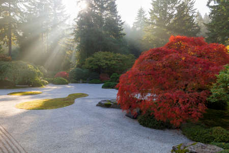 Sun rays over flat sand garden with old Jaoanese Red Lace Leaf Maple Tree during fall season