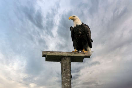 American Bald Eagle perched on top of a tree pole at Long Beach Peninsula beach in Washington State